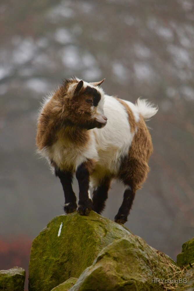 Pygmy Goat - King of the Mountain by HRYoung88