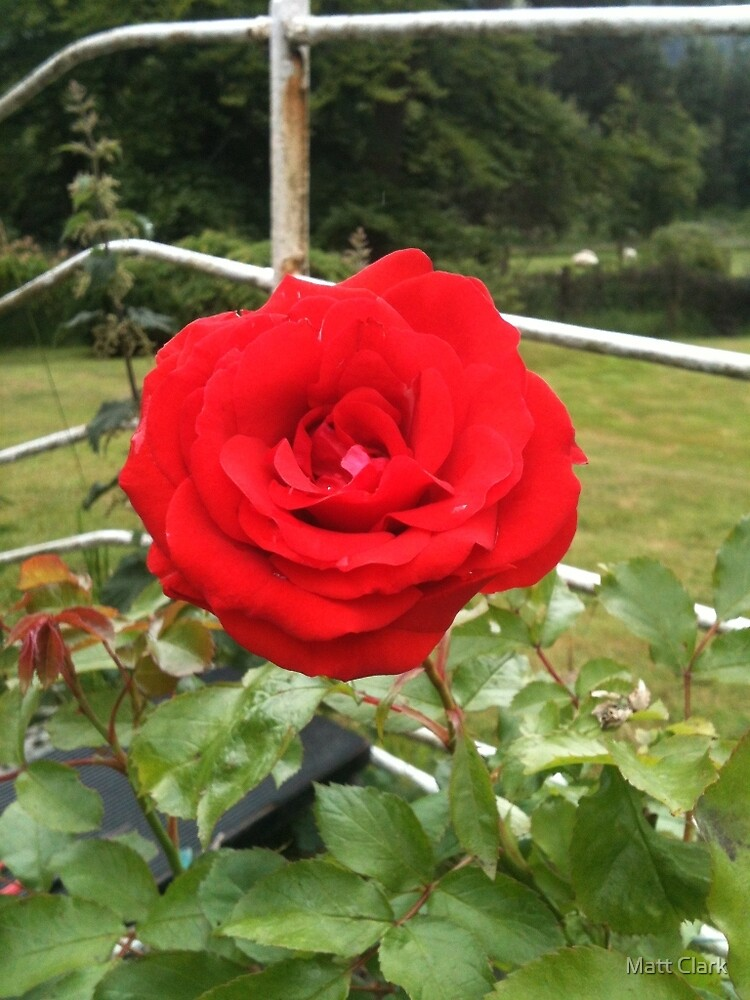 MY ENGLISH ROSE by Twistedwillowuk