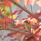 Autumn Warbler by K D Graves Photography