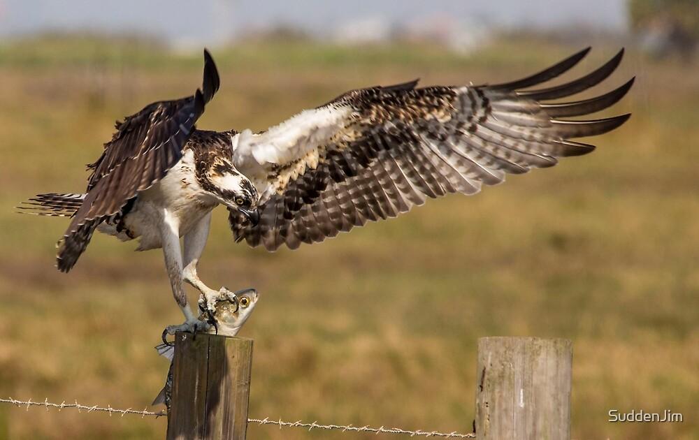 Osprey with Catch by SuddenJim