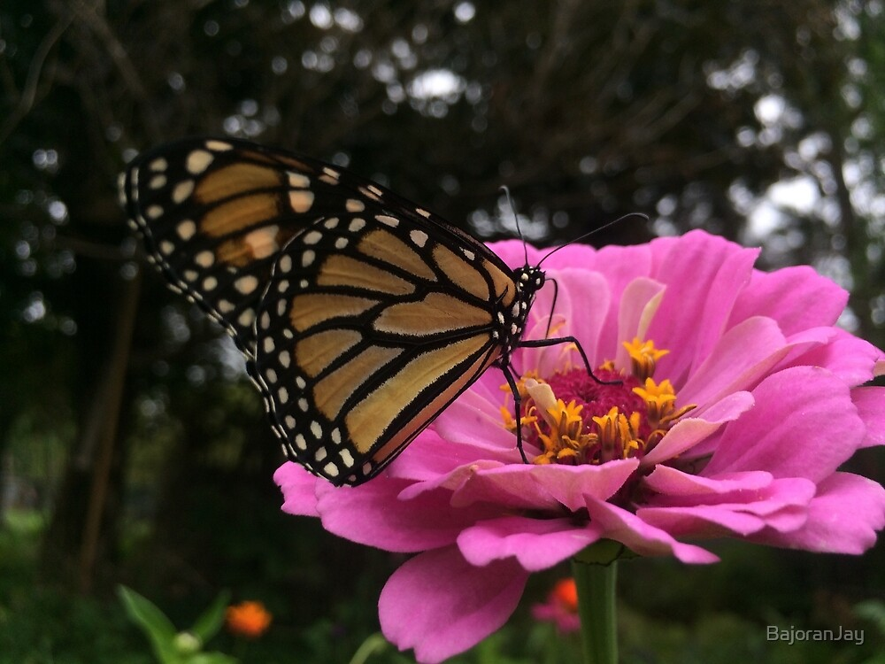 Monarch Butterfly Pollinating Purple Passion Zinnia by BajoranJay