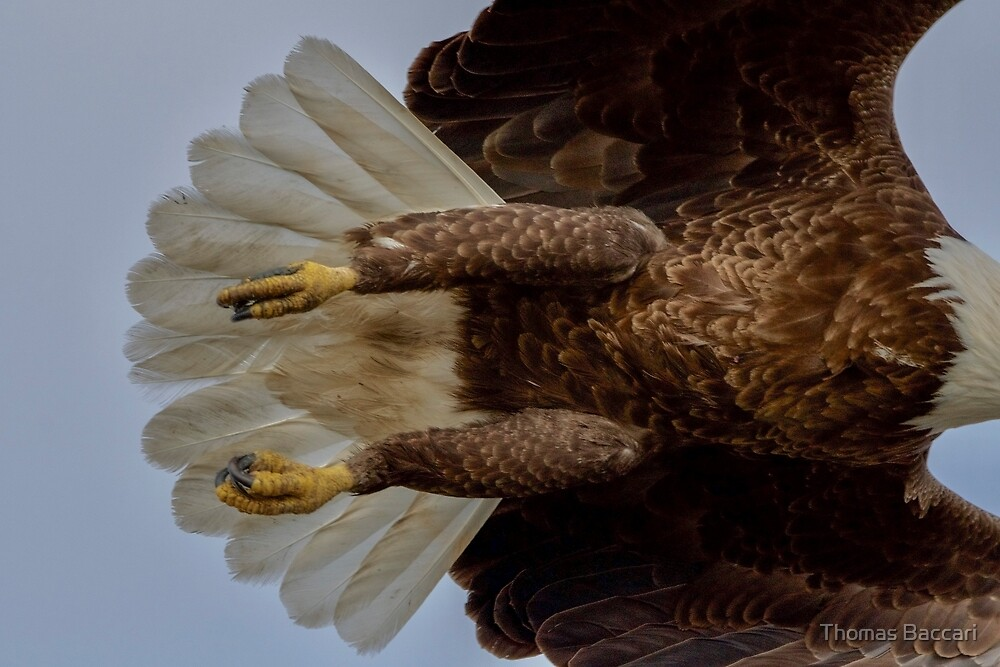 Eagle Over My Head by TJ Baccari Photography