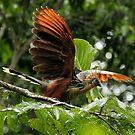 The Stinkbird or Canje pheasant - (Opisthocomus hoazin) Napo River Ecuador by john  Lenagan