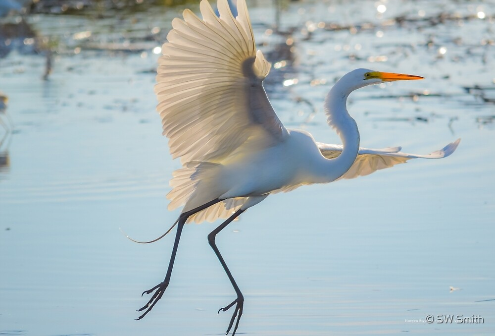 Ardea Alba - Great Egret | Hampton Bays, New York by © Sophie W. Smith