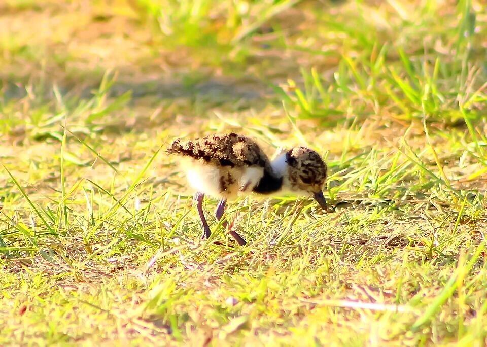 Hungry Little Baby Southern Lapwing  by JodiSharp