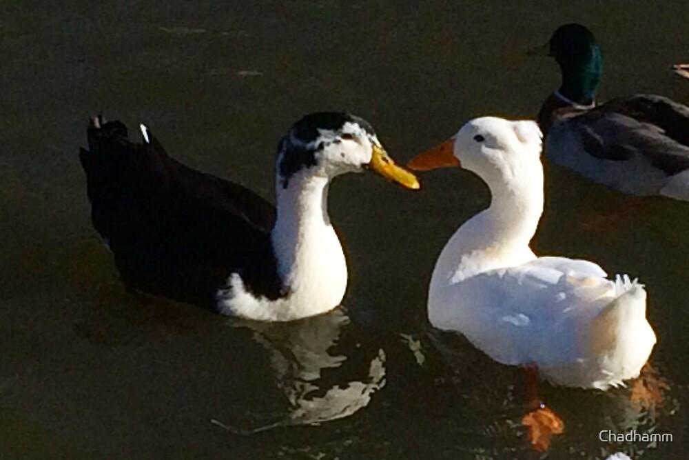 Ducklove by Chadhamm