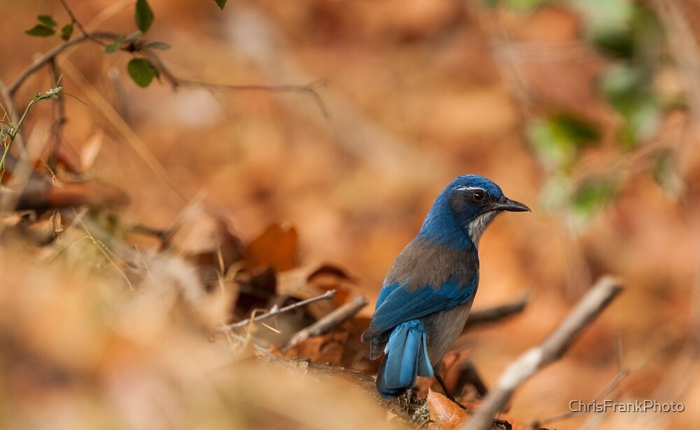 Bluebird  by ChrisFrankPhoto