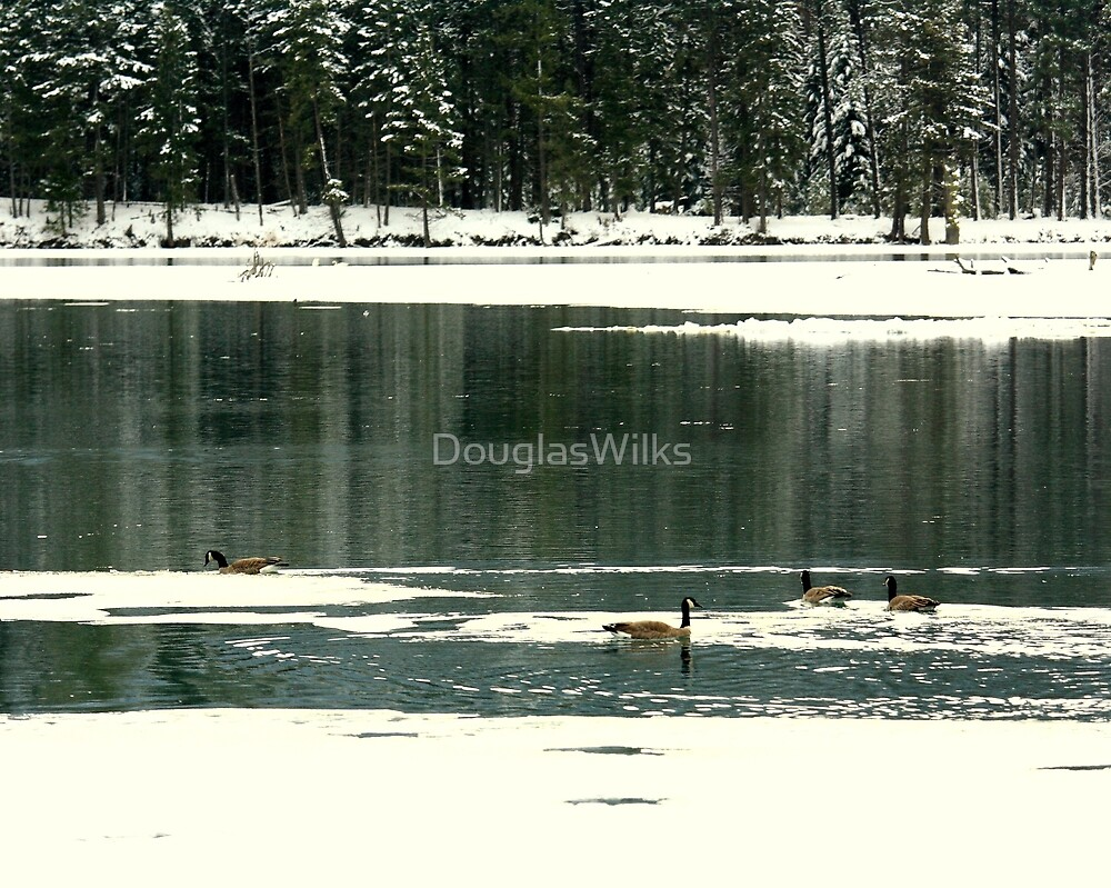 Canadian Geese in Winter by DouglasWilks
