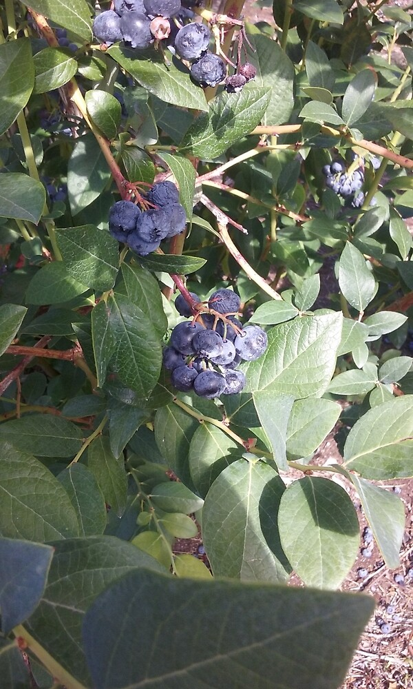 Maine Blueberries by morgelizabeth