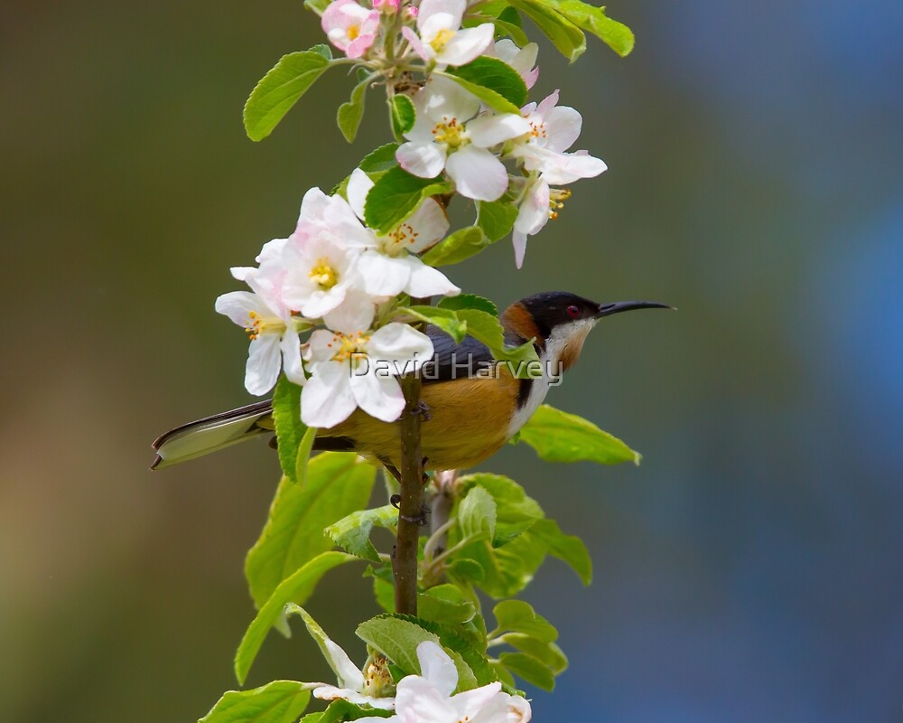 Eastern Spinebill  by David Harvey