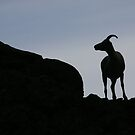 Dall Sheep by Marty Samis