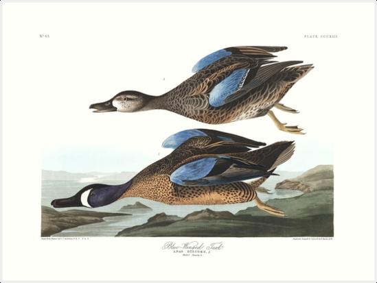 Blue-Winged Teal - John James Audubon by billythekidtees