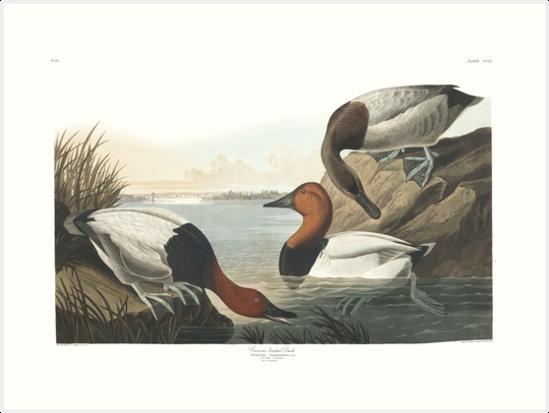 Canvasback - John James Audubon by billythekidtees