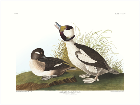 Bufflehead - John James Audubon by billythekidtees