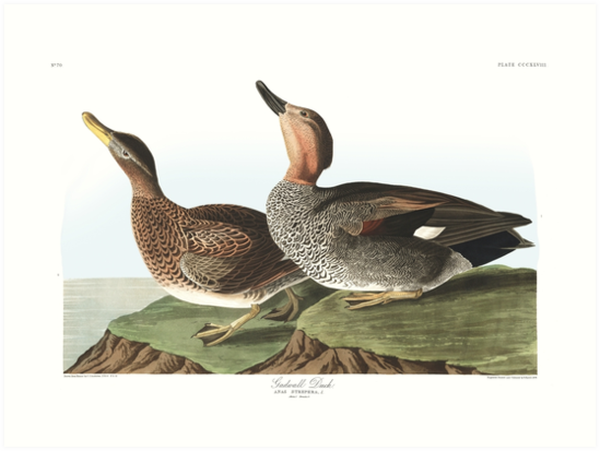 Gadwall - John James Audubon by billythekidtees
