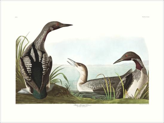 Red-Throated Loon - John James Audubon by billythekidtees