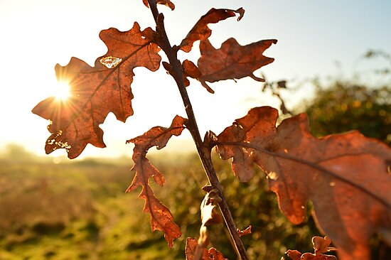 Winter Oak Leaves by 24Photography