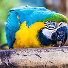Macaw by static-shotz