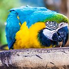 Macaw by Gary Chadond