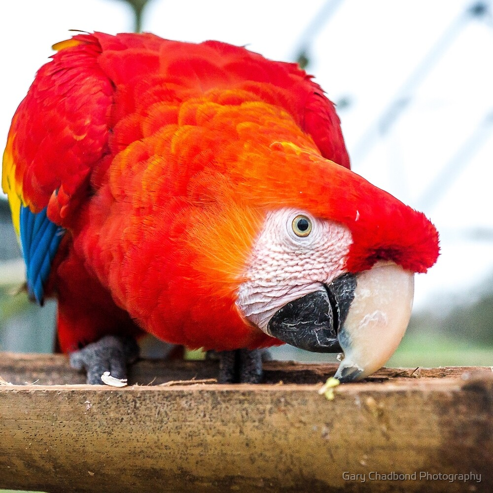 Macaw Parrot by Gary Chadond