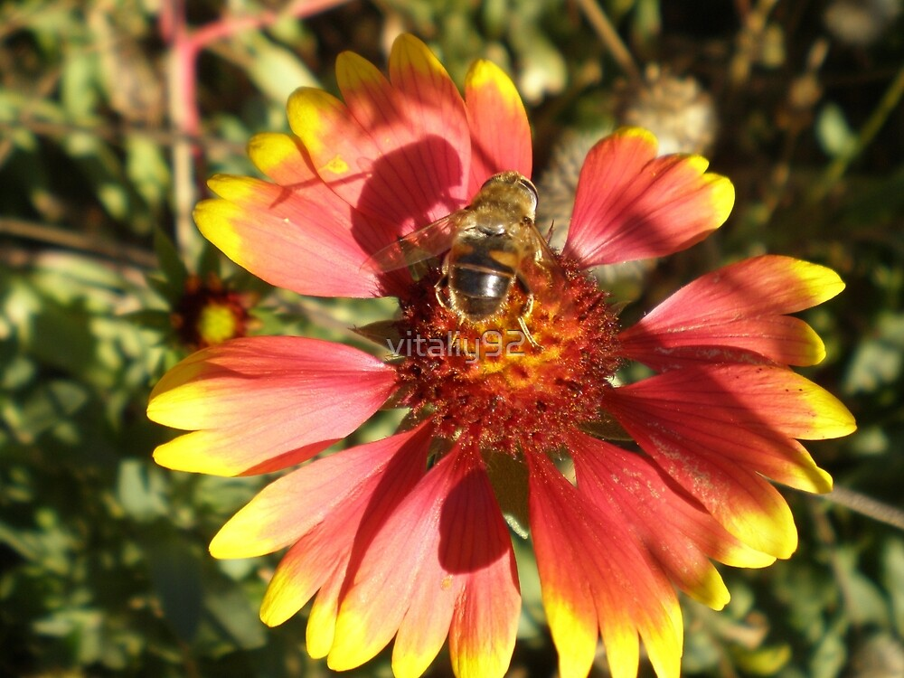 Bee sitting on the flore core by vitaliy92