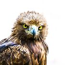 Golden Eagle. by Maybrick