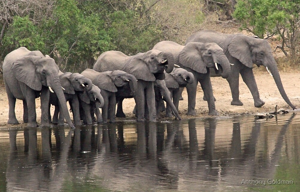 Breeding elephant herd taking a family drink! by Anthony Goldman