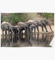 Breeding elephant herd taking a family drink! Poster
