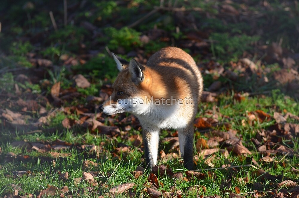 Red Fox in the Sun by LouiseMatchett