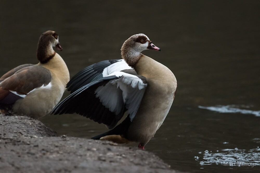 Egyptian Geese by Matt Malloy