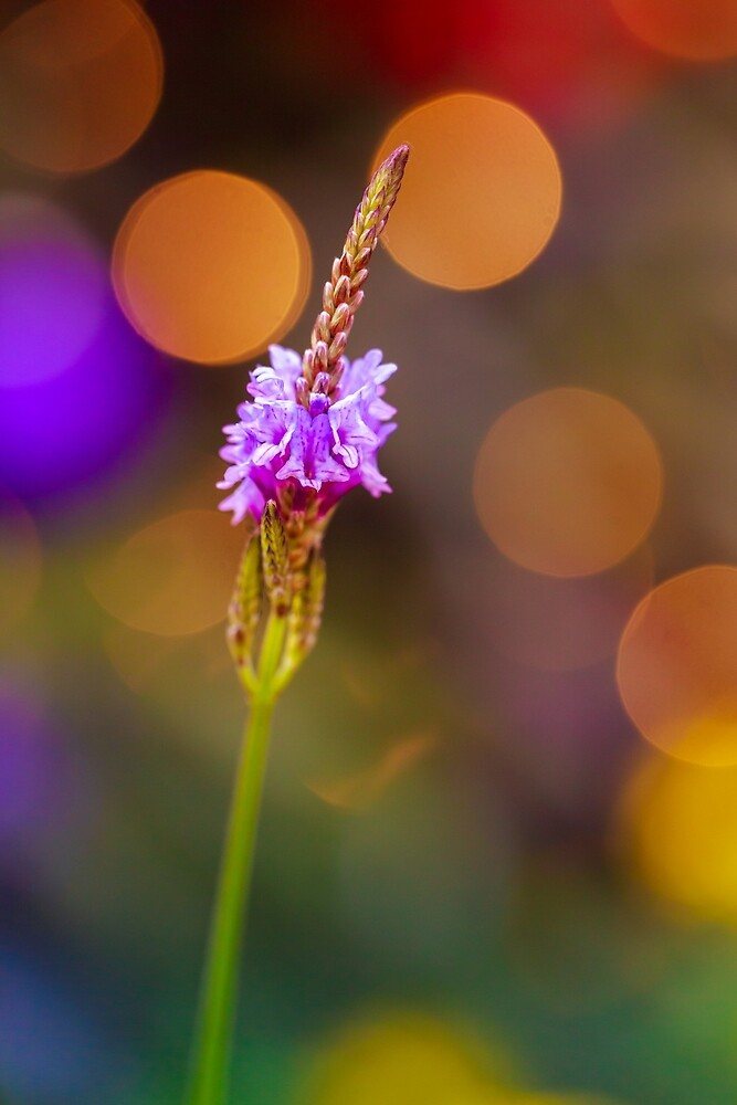 Lavender ringing in the New Year by alan shapiro