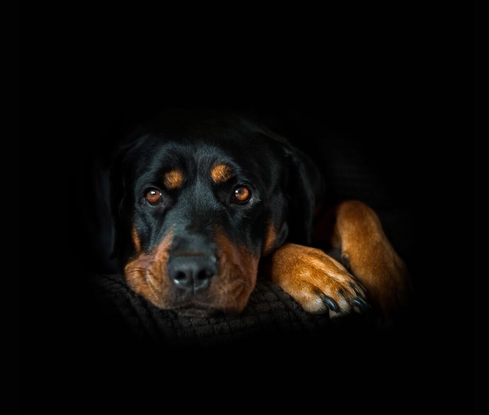 Rottweiler Resting by Barkhill