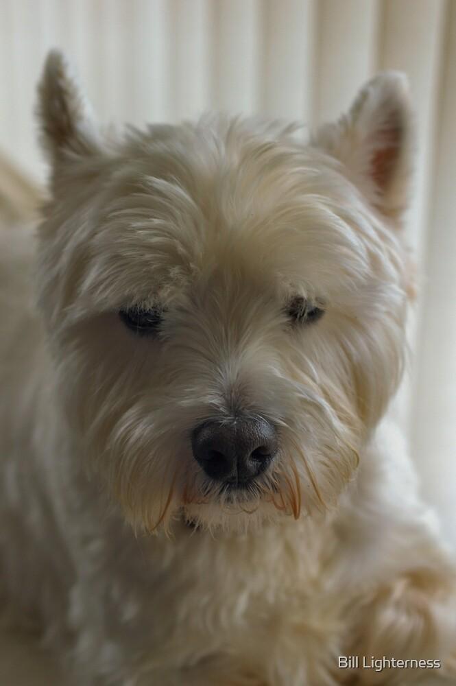 Westie Portrait by Bill Lighterness