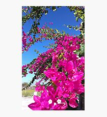 Bougainvillea - triple flower Photographic Print