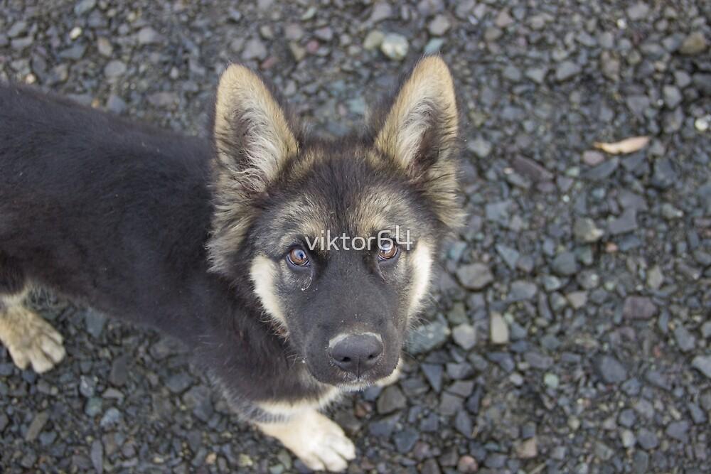 German Shepherd 2 by viktor64