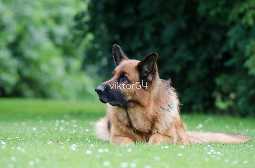 German Shepherd 6 by viktor64