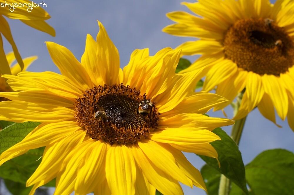 Sunflowers by skysonglark