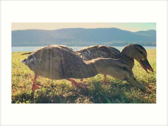 Ducks at Lake George, 2016 by Marc Zahakos