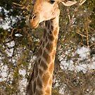 Giraffe portrait by Erik Schlogl