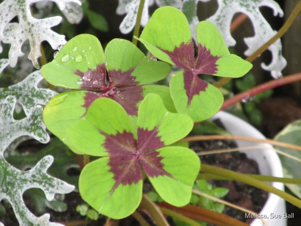 Shamrock 4 leaf Clovers by Melissa, Sue Ball