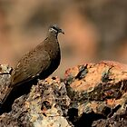 WHITE-QUILLED ROCK PIGEON  -  Northern Territory- Australia-View Large by Leslie-Ann