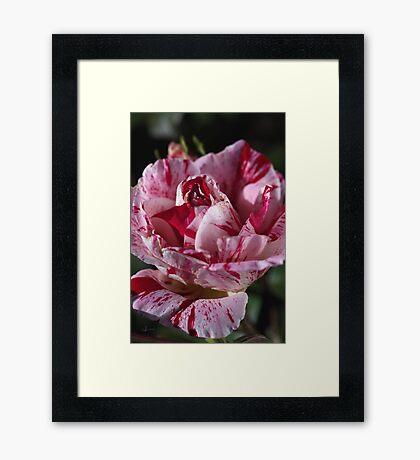 Delight Of The Variegated Rose Framed Print