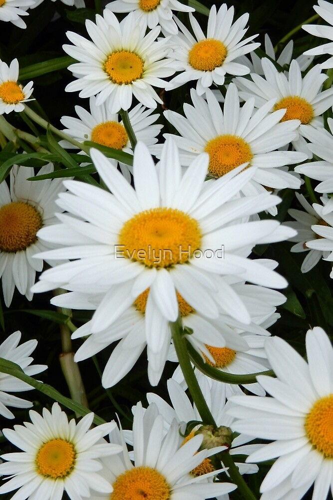 Daisies Flowers by Evelyn Hood