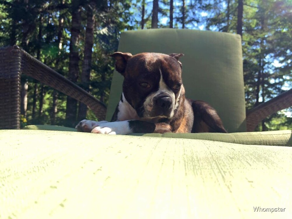 Buster The Boston  by Whompster