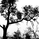 African White-backed Vultures in Silhouette by Graham Prentice