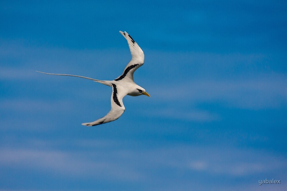 White-tailed Tropicbird in a blue sky by yabalex