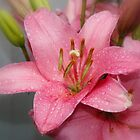 Pink Lily by AnnDixon