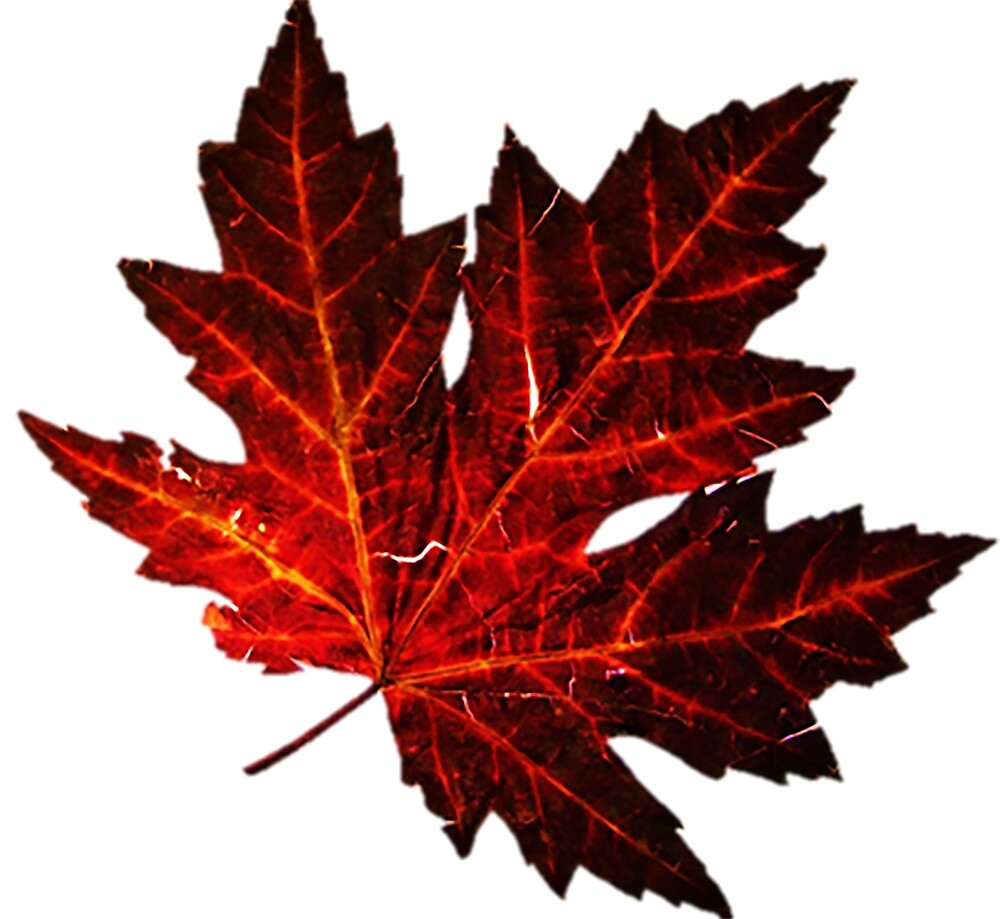 Maple leaf by Nessica
