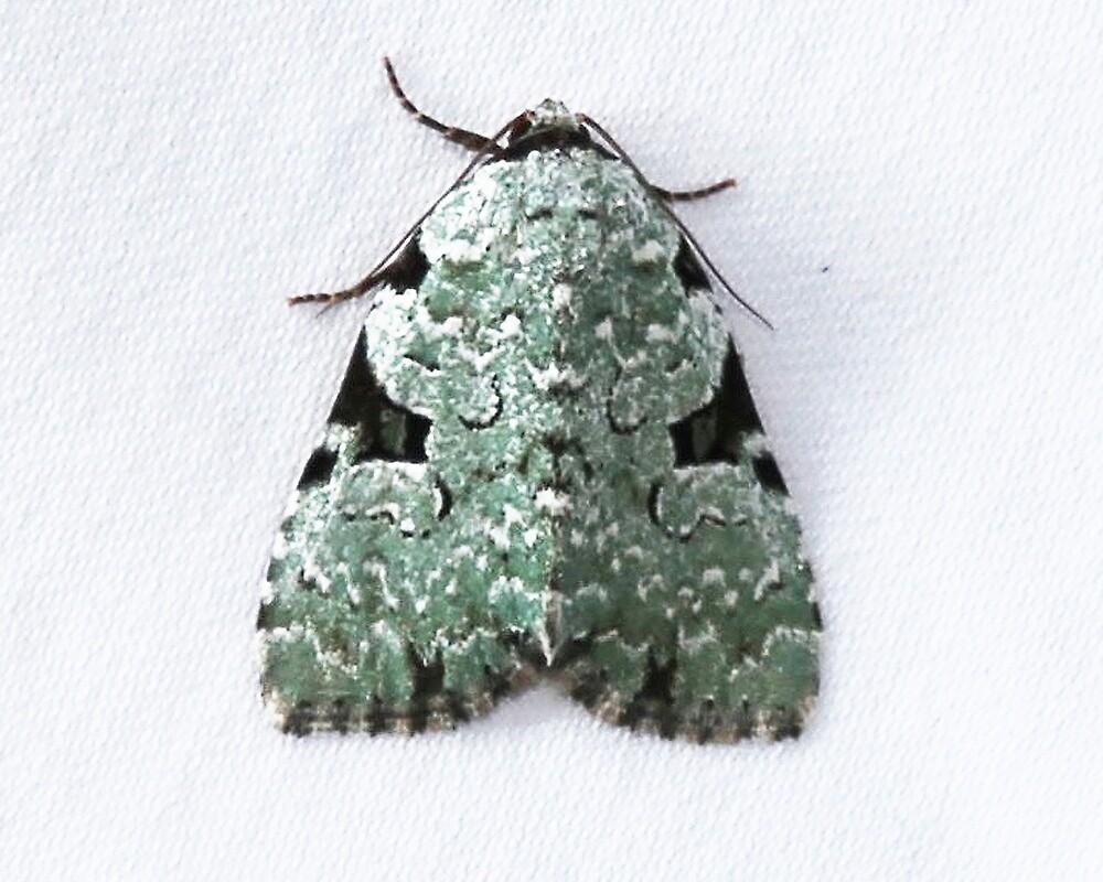 Green Leuconycta Moth by Alice Kahn