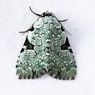 Green Leuconycta Moth by Alice Kahn